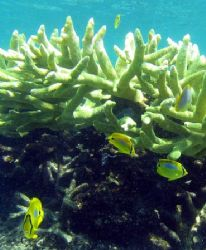 """""""Life in the Staghorn"""", Ningaloo Reef by Penny Murphy"""
