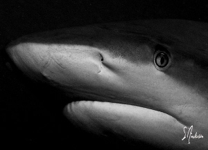 """Contact"" This image of a Reef Shark demonstrates perfect... by Steven Anderson"