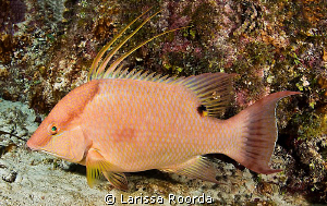 Hogfish (Lachnolaimus maximus) at intermediate stage. by Larissa Roorda