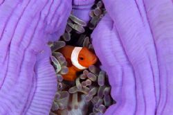 Clownfish , Sangalaki Indonesia by Roger Munns