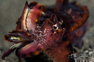 Flamboyant Cuttlefish by Julian Cohen