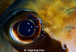 eye of puffer and shrimp by Jagwang Koo