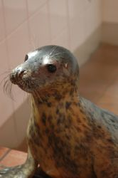 Common Seal. This little guy was stranded on a beach, and... by Grant Kennedy