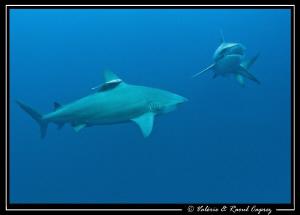 Two Zambezi sharks in action. by Raoul Caprez