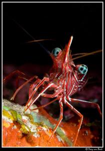 hunchback shrimp by Dray Van Beeck