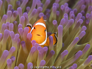 Anemone fish ~ Raja Ampat by Jeannette Howard