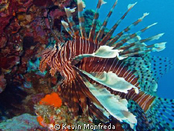 Lion fish by Kevin Monfreda
