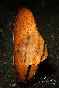 Juvenile Batfish by Julian Cohen