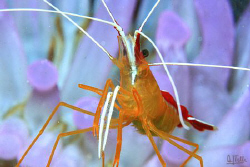 Cleaning shrimp in front of her home, a clup tip anemone by Arthur Telle Thiemann