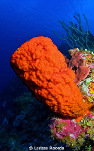 Orange vase sponge at 90 feet with resident brittle stars by Larissa Roorda