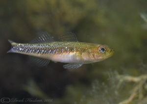 Two spot goby. North Wales. D200, 60mm. by Derek Haslam