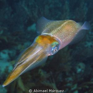 Caribbean Squid, Vieques, P.R. by Abimael Márquez
