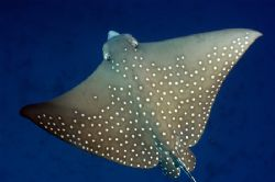 Eagle Ray , Fish Head thila , Ari Atoll by Roger Munns