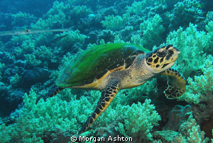 Full frontal. Waiting for Thresher sharks. Found turtle. by Morgan Ashton