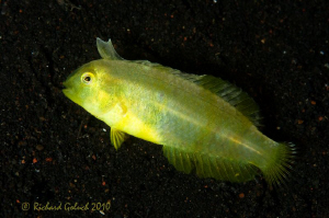 Whitepatch Razorfish-JP Variation[less than 6 cm long]-Bl... by Richard Goluch