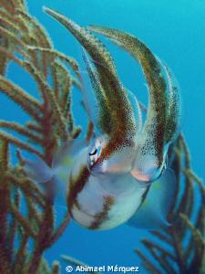 Squid, Vieques by Abimael Márquez