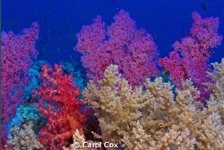 Soft Coral garden by Carol Cox