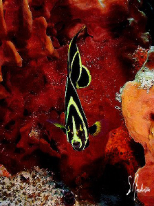 I enjoy watching these juv. Angelfish flutter back and fo... by Steven Anderson