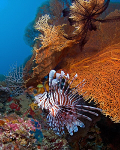 """""""Lionfish"""" in its habitat at marine sanctuary, Moalboal,... by Henry Jager"""
