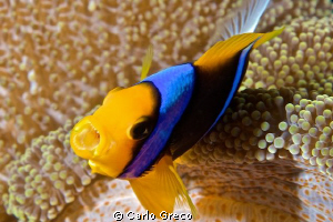 Angry anemonefish by Carlo Greco