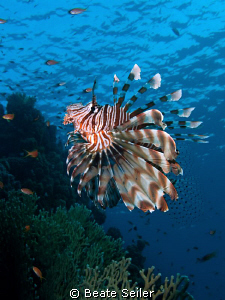 Lionfish , taken at El Quadim with Canon G10 by Beate Seiler