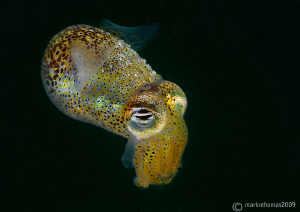 Little Cuttle, Sepiola atlantica,