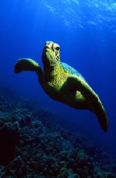 Green sea turtle; Hanauma Bay, Oahu, Hawaii. Photographed... by Glenn Cummings
