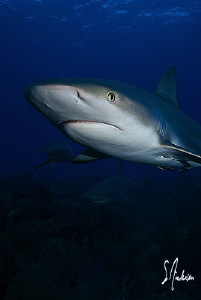 The Reef Sharks had just as much fun circling us as we ha... by Steven Anderson
