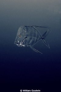 These TWO Lookdowns visited me at 80 fsw in murky water o... by William Goodwin