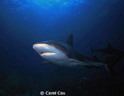 Shark at Runway, Nassau, Bahamas.  Scanned from slide. by Carol Cox