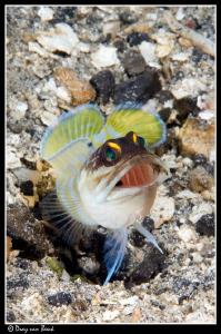 Jawfish by Dray Van Beeck