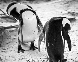 Penguins in Bulders beach near  Cape Town cleaning themse... by Alberto Romeo