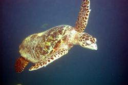 Hawksbill Turtle. Sometimes the best way to see the best ... by Grant Kennedy