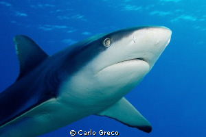eye contact with reef shark in Yap by Carlo Greco