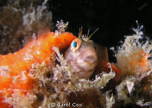 Seaweed Blenny by Carol Cox