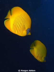 A pair of Masked Butterflyfish. by Morgan Ashton