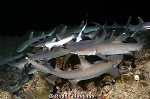 white tip sharks hunting in night dive,nikon d2x 17-35 mm. by Puddu Massimo