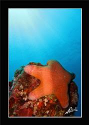 starfish by Adriano Trapani