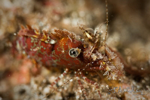 Saron Shrimp, shallow D.O.F. by Julian Cohen