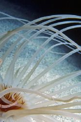 Tube anemone shot in a small cave on a night dive, the on... by Glenn Cummings
