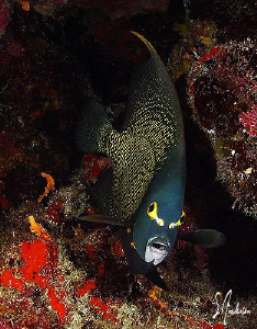 One of my favorites - French Angelfish are so friendly an... by Steven Anderson