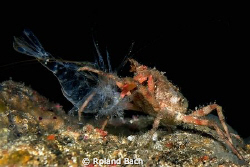 Wrinkled crab vs shrimp. This photo has been realized in ... by Roland Bach