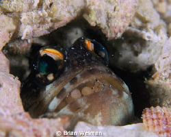 Jawfish with Eggs by Brian Welman