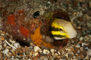 """Welcome""-Shorthead Fangblenny by Richard Goluch"
