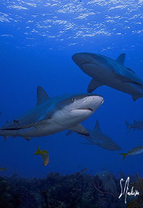 25-30 Reef Sharks make for an interesting dive. The Baham... by Steven Anderson