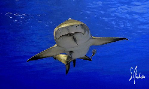 """Spread Eagle "" This Lemon Shark cruises the surface in s... by Steven Anderson"
