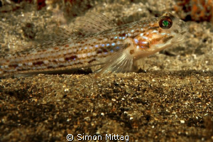 Groove Cheek Goby by Simon Mittag