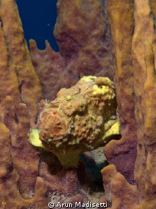yellow frogfish playing invisible by Arun Madisetti