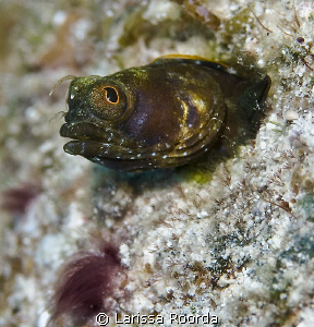 Sailfin Blenny. by Larissa Roorda