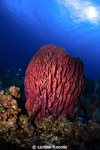 Giant Barrel Sponge in the sun by Larissa Roorda